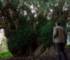"""Kỳ lạ cây đại thụ cao gần 17m """"chuyển giới"""" sau 3.000 năm"""