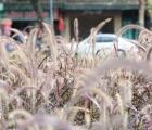 """Bức xúc du khách giẫm nát vườn lau tím ở ven hồ Gươm để chụp ảnh """"sống ảo"""""""