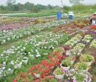Làng hoa ngoại ô TPHCM tất bật vụ hoa Tết Tân Sửu 2021