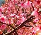 Ngắm hoa anh đào bung nở làm say đắm lòng người nơi miền biên viễn