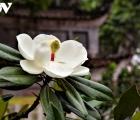 Về chùa Bối Khê chiêm ngưỡng vẻ đẹp tinh khiết của hoa sen đất