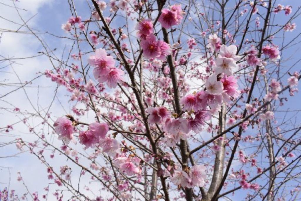 Điện Biên: Hơn 1.500 cây hoa Anh Đào Sakura, Nhật Bản đang bung mình khoe sắc trên đảo Pá Khoang  - Ảnh 2.