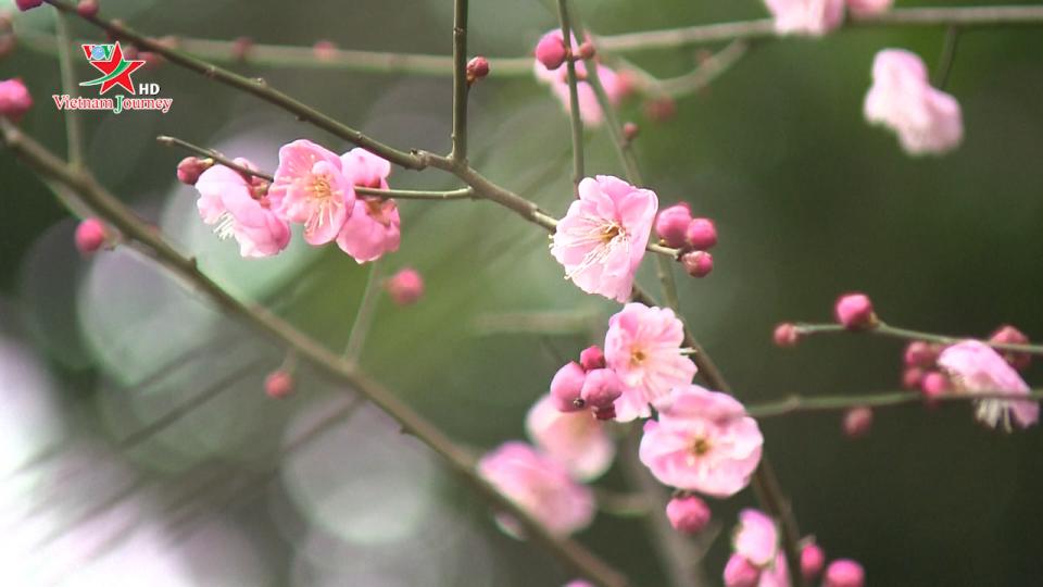 Trung Quốc: Rực rỡ sắc hoa mùa xuân