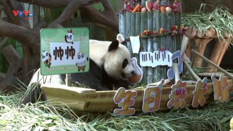 Cặp sinh ba gấu trúc duy nhất còn sống trên thế giới đón sinh nhật 7 tuổi