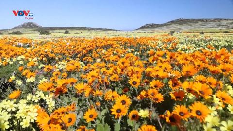Nam Phi: Quyến rũ những thảm hoa dại cuối đông